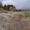 2015年3月25日。奈良県)月ヶ瀬梅林。