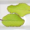 ベンケイソウの葉から芽