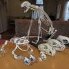 頭骨 標本