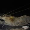 チュウゴクスジエビ Palaemon sinensis