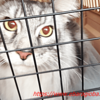 攻撃注意・シルルワクチン注射をする:メインクーン猫シルルのもふもふ