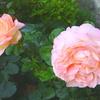 「オーブ」の二番花
