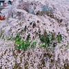 『桜の樹の下には死体が埋まっている。』梶井基次郎。桜と檸檬と…春、めぐる思考。