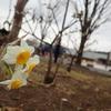 ポツリとスイセンの花が咲き始めました。
