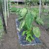 サトイモ畝の除草