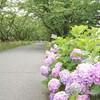 サイクリングで紫陽花を愛でる│犀川提~本戸輪中堤