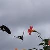 コスモス園の草引きをがんばりました&仲良しのモンキアゲハ&カラスウリの花咲く夜♪