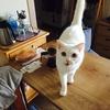我が家の白猫について