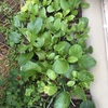 混植密植☆成功!エンドウの不思議と雨の後のカモミール
