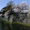 4月8日 彦根城の桜