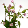 金平糖花、ポリゴナム、ヒメツルソバ、姫蔓蕎麦