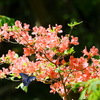 春のアキリデス  - カラスアゲハとミヤマカラスアゲハ -