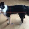 犬の体長・体高の測り方