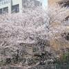 名残のお花見ポタリング〜9日土曜日