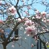 麗し桃の花咲く