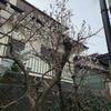 三寒四温、我が家の桜は満開