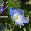 オオイヌノフグリ / イヌノフグリ / イヌフグリと「天人唐草」.ベロニカ・オックスフォードブルーもオオイヌノフグリも,同じクワガタソウ属(Veronica ベロニカ属)の花(2)