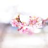 桜と春と私