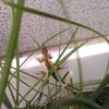 ニラの中からカナヘビさん