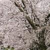 中舘観音寺の桜
