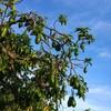アボガドの木って見た事ありますか?