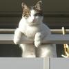 ベランダからのぞく猫のマオ、おっさんか!?