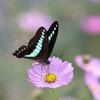 10/22/2019・コスモスの花にやってくる蝶たちを撮影しました