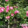 アンジェラさん 2011/05/21 埋め尽くす様に咲かせるのは何時になるかなあ