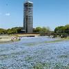 春の浜名湖ガーデンパーク -ネモフィラの絨毯