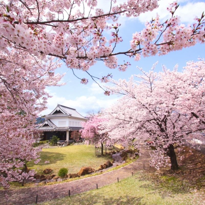 これぞ日本の春!強者どもが夢の跡地に咲く桜
