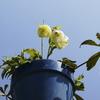 うちの庭にも春が来た&タイの花