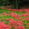 オヤジのお勧め 北部九州彼岸花スポット