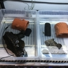 トウブドロガメ、'18子亀の成長7。そして、親亀達。