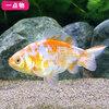 (国産金魚)一点物 桜和金 三歳 10cm±(1匹) 沖縄別途送料
