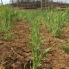 勢いを見せ始めた ~ラボ2畑の小麦、ライ麦、スペルト小麦~