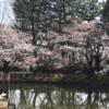 鹿沼公園のさくら (3月20日)