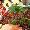 【サントリー本気野菜】家庭菜園トマトが育ちました