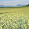 麦秋の丘へ・・・
