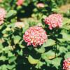 小牧市の市民四季の森にバラとあじさいを撮りに行った
