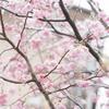 四季咲き桜になごり雪