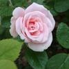 恐怖!耳鼻科の診察~挿し木のバラに蕾が付きました編~