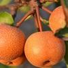 梨「幸水」の特徴|旬の時期、選び方、保存方法を解説