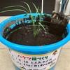 バケツ稲の植え替え
