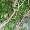 私と植物:有難う。藤棚, 今夏よろしくなー(2)