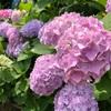 [愛媛] 紫陽花を見に 行く- 稲積癒しの里