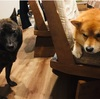 柴犬と甲斐犬。室内飼育してみてわかる性格の違い