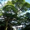 江ノ電 御霊神社のタブノキ