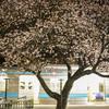 駅前の早咲きの桜@2021