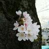 桜を見てきました!(コメント返信あり)
