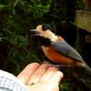 西湖野鳥の森公園 手乗りヤマガラ